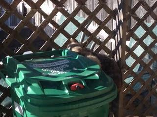 Енот ворует мусор