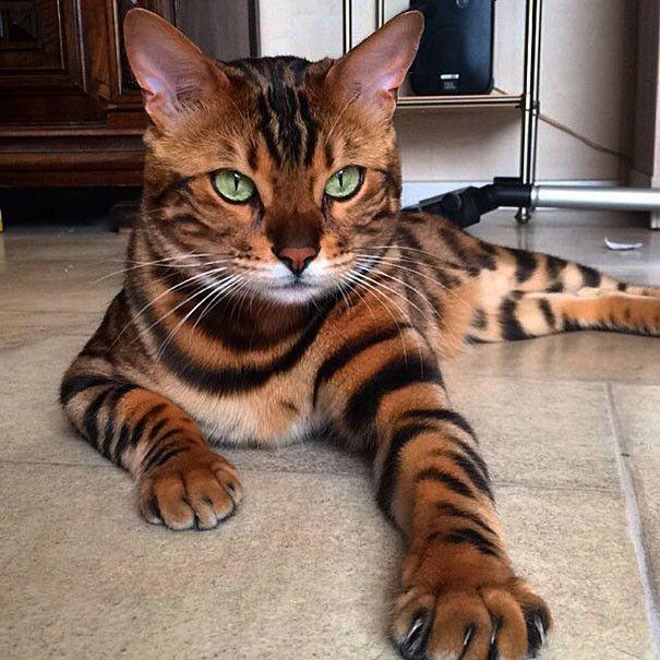 Красивый бенгальский кот становится новой знаменитостью соцсетей