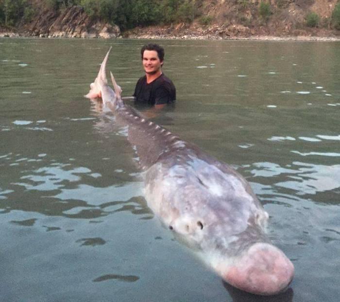 В Канаде выловили легендарного 295-килограммового белого осетра