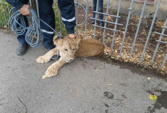 В центре Уфы поймали гуляющего по улице львенка