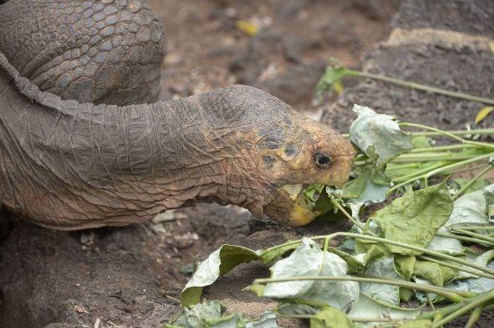 100-летний самец черепахи спас от вымирания свой подвид
