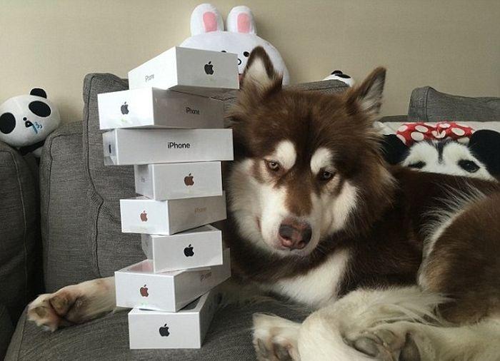 Сын китайского миллиардера подарил своей собаке 8 смартфонов iPhone 7