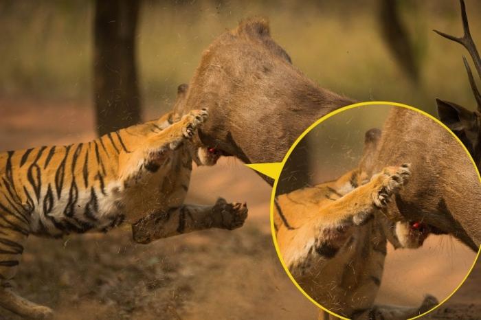 Неудачная охота тигрицы на оленя