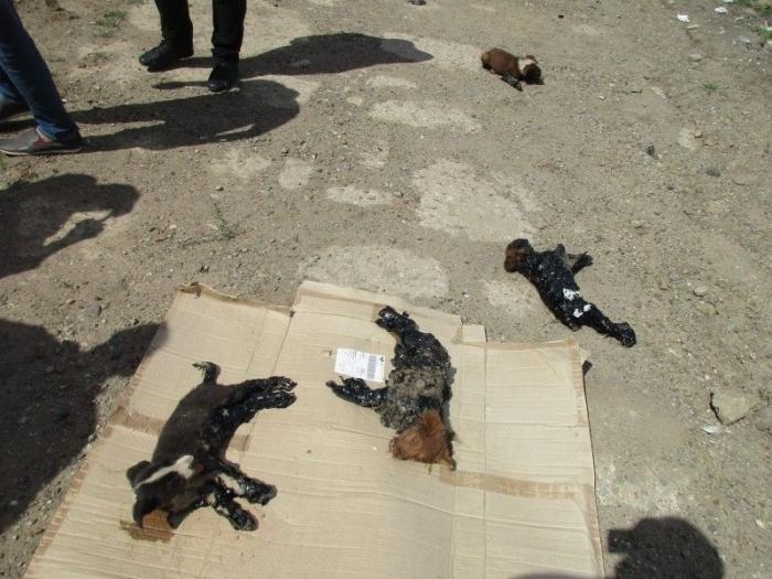 Садисты облили четырех щенков гудроном и бросили умирать