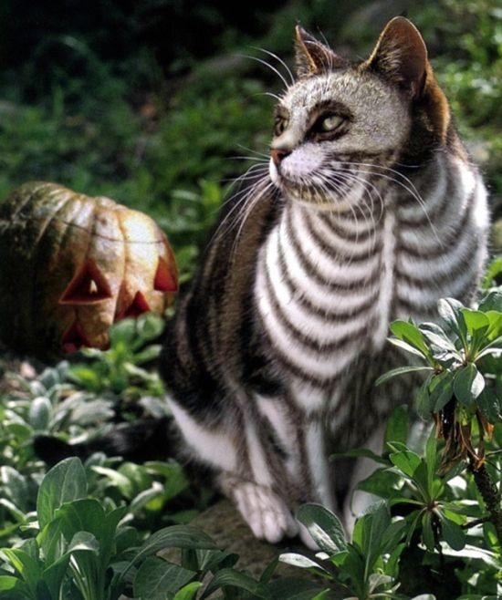 Оригинальные наряды для кошек на Хэллоуин