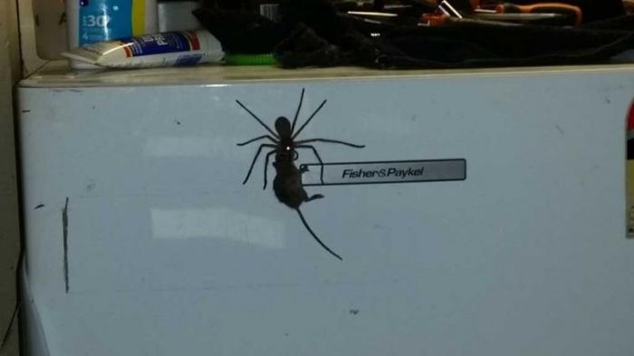 Гигантский крабовый паук таскает по дому пойманную мышь