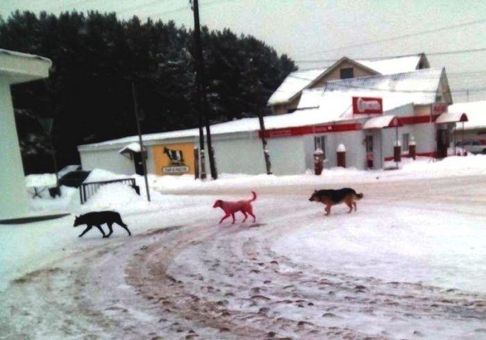 В Ижевске спасли розовую собаку