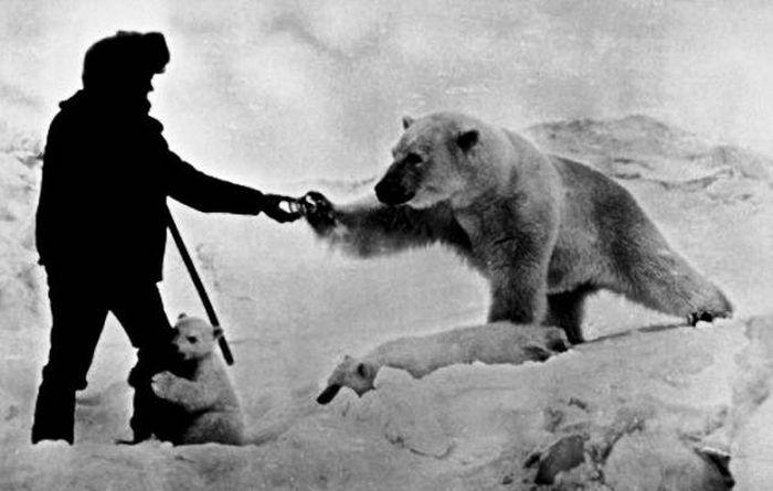 Бесстрашный полярник подкармливает белых медведей