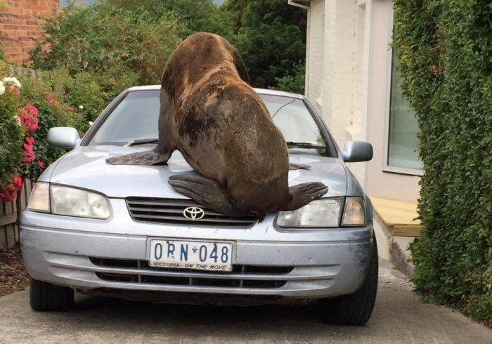 В Австралии тюлень-хулиган повредил автомобиль