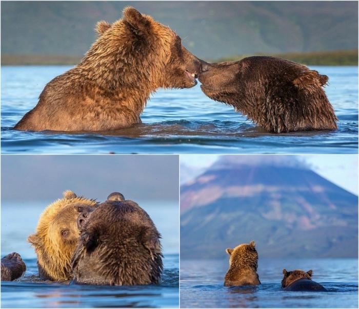 Нежные поцелуи бурых медведей
