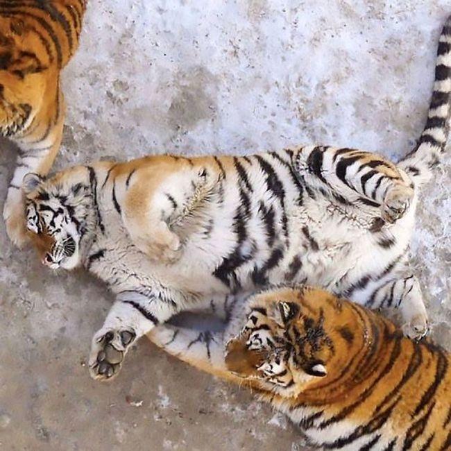 В китайском зоопарке растолстели амурские тигры