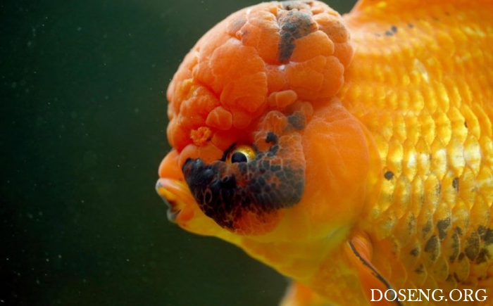 Селекционер вывел золотую рыбку-монстра