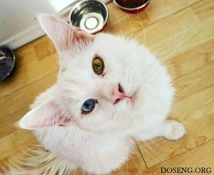 Кот породы мейн-кун стал известен благодаря крупным размерам и гетерохромии
