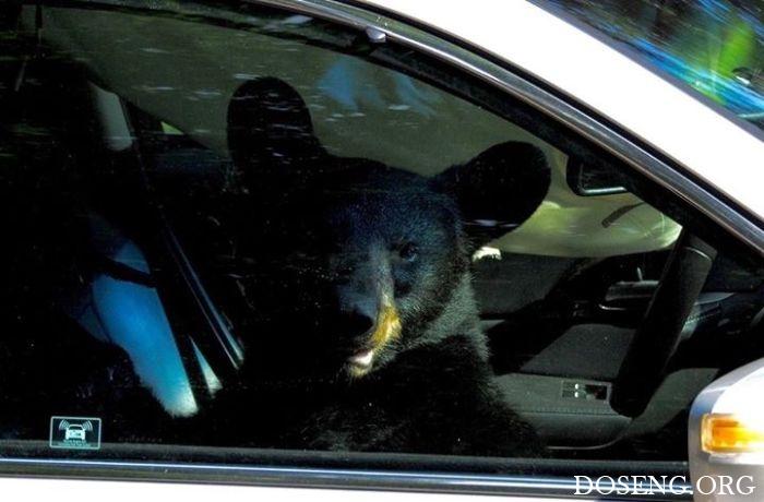 Медведь забрался в машину