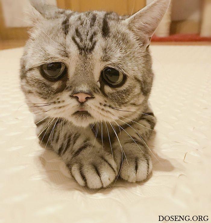 Луху - самая грустная кошка в интернете