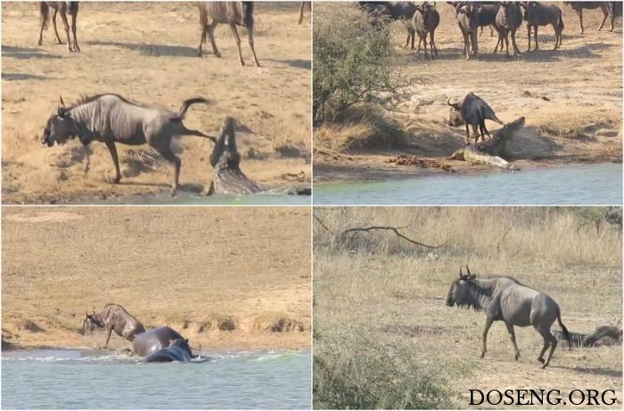 Бегемоты спасли антилопу гну из пасти крокодила