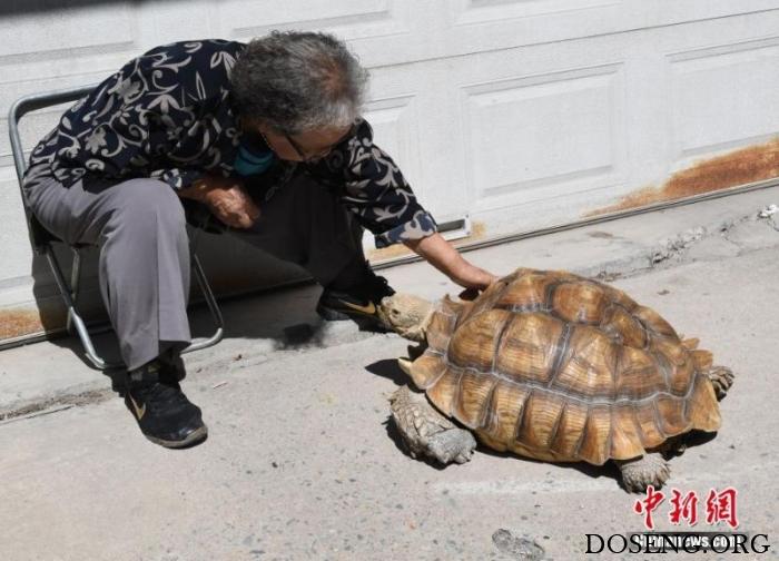 Китайская бабушка выгуливает свою 50-килограммовую черепаху