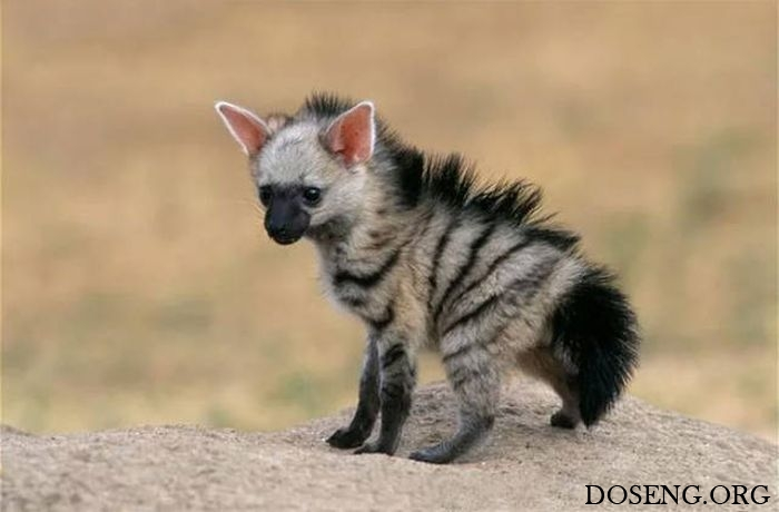 Земляные волки — одни из самых милых хищников на планете