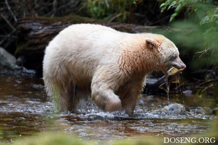 Фотографу повезло сфотографировать медведя-призрака