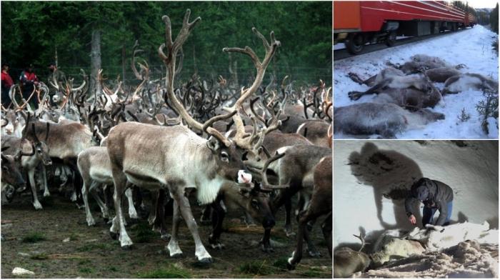 106 северных оленей были сбиты поездами за 4 дня в Норвегии