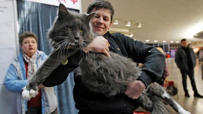 Самым большим котом Украины стал 12-килограммовый мейн-кун по кличке Камаз