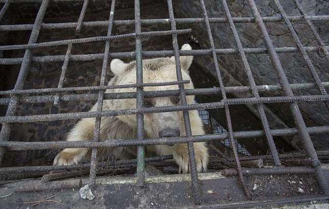 В Армении спасли медведицу, которая прожила всю жизнь в тесной клетке