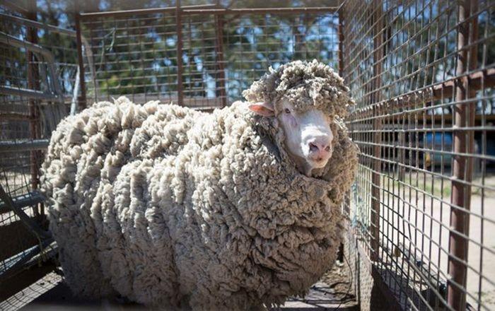Овца, которую не стригли 4 года, избавилась от тяжелой ноши