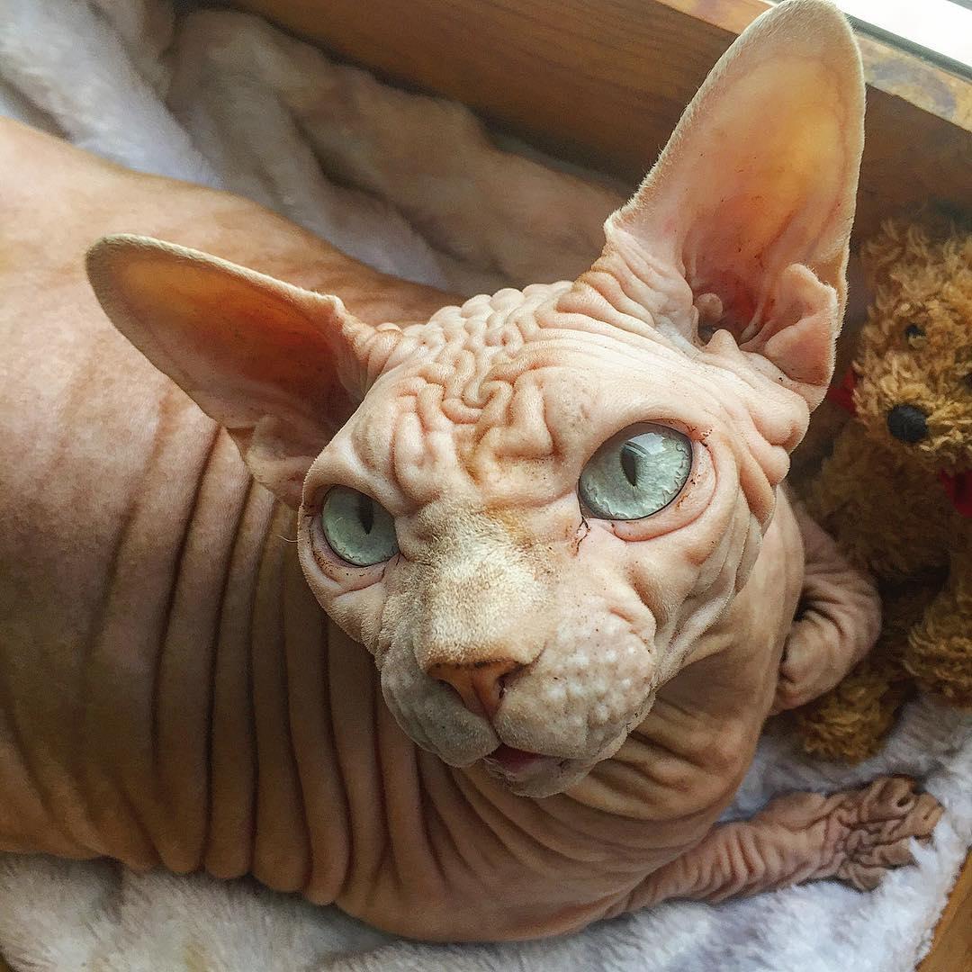 фото лысого кота научиться