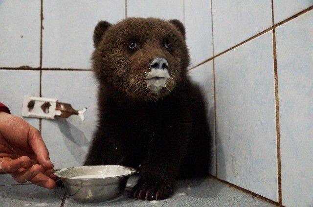 Спасение медвежонка в Ленинградской области