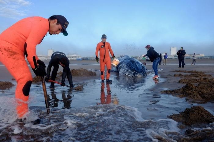 Спасение кита в Аргентине