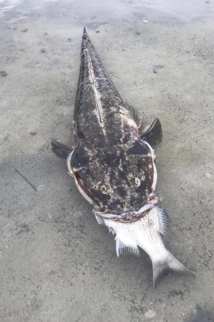 Жадность рыбину сгубила