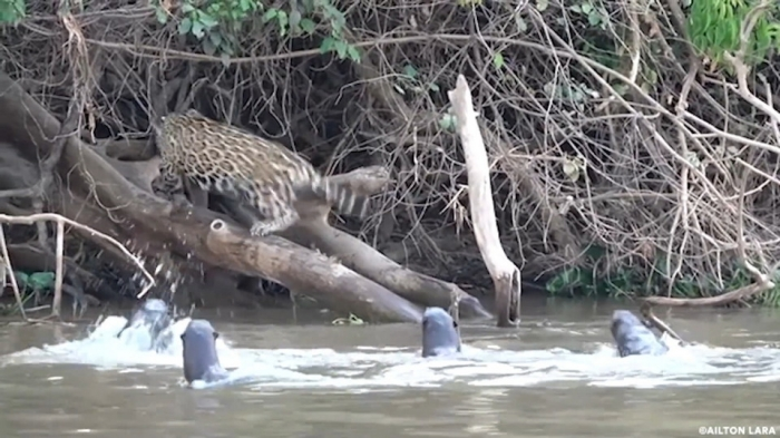 Выдры прогнали ягуара со своей территории