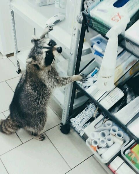 Енот-ветеринар из клиники Ростова-на-Дону