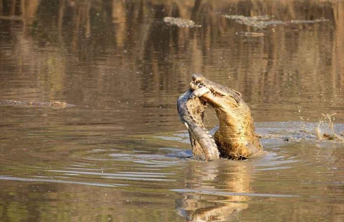 Крокодил-каннибал сожрал более мелкого сородича