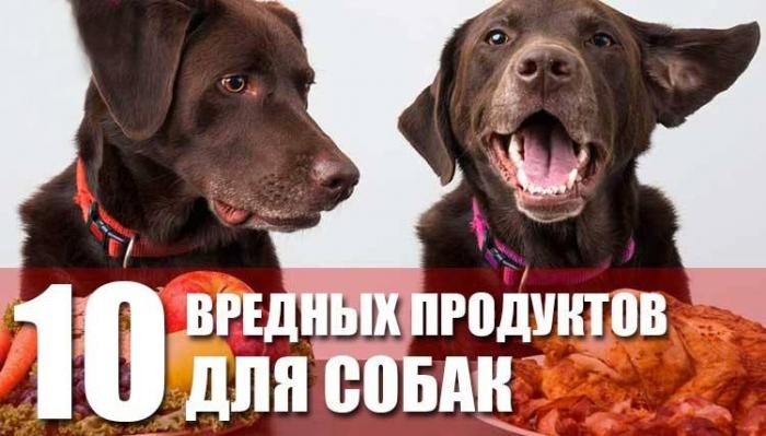 10 продуктов, которые Неполезны для собак