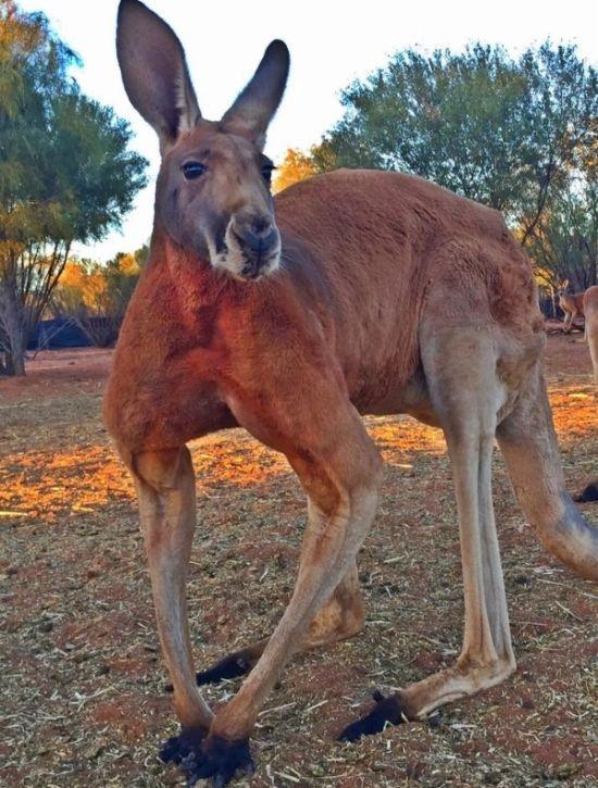 Мощный кенгуру из австралийского заповедника держит в страхе смотрителей (