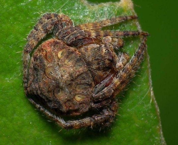 Охватывающие пауки - настоящие мастера маскировки