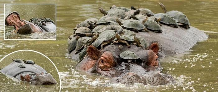 Наглые черепахи используют бегемота как пляж