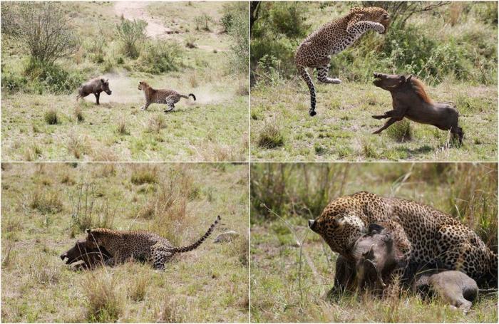 Охота леопарда на бородавочника