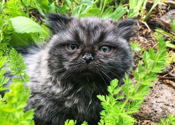 Необычный котенок-карлик, обнаруженный в лесу