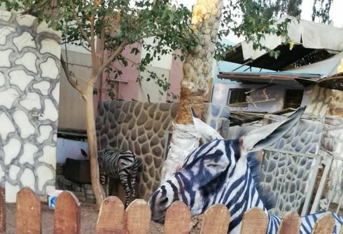 В египетском зоопарке жара превратила зебр в ослов