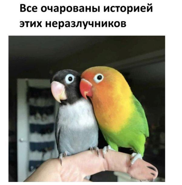 История любви двух попугаев