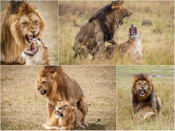 Морды львов во время спаривания