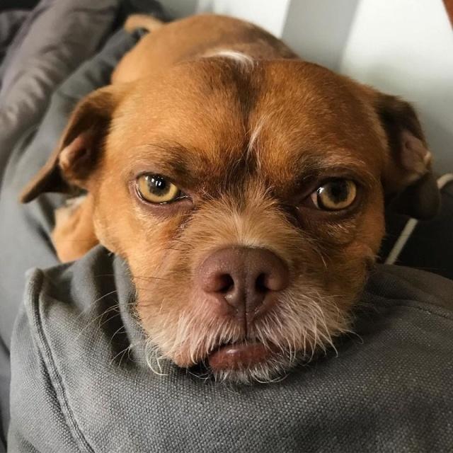 Забавный пес по кличке Бекон, обладающий необычной мимикой