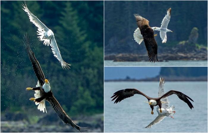 Эффектные кадры охоты орлана на чайку