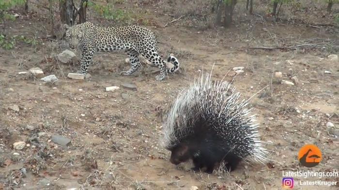 Леопарду не удалось пообедать дикобразом