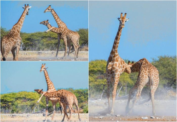 Схватка жирафов в Намибии