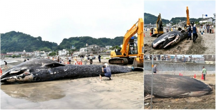 Молодого 10-метрового кита выбросило на пляж в Японии