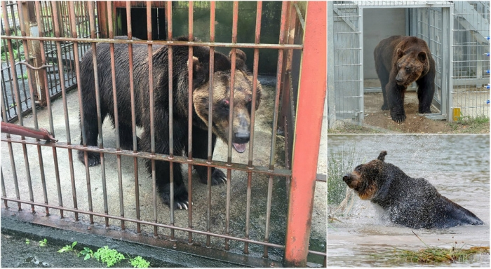 Уссурийский бурый медведь 17 лет был заперт в крошечной клетке в Японии