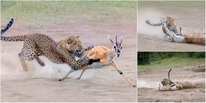 Удивительные кадры охоты самки леопарда на газель